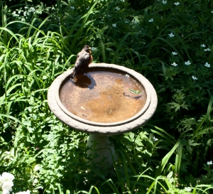 Robin in the birdbath.