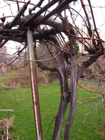 Metal bar holding up grapevine.