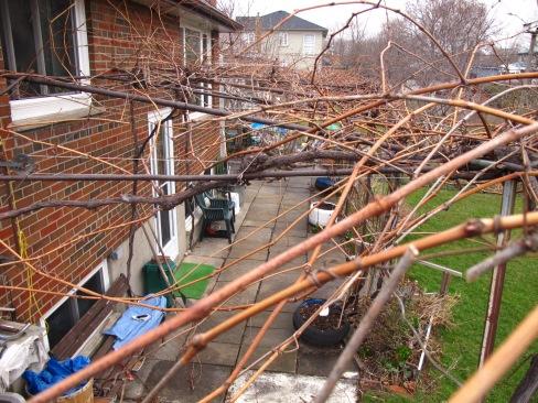 Grapevines over back door.