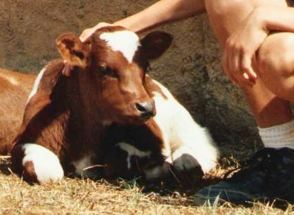 Toronto the cow.