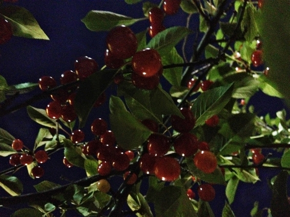 Cherries in the tree at night.