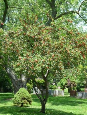 Prospect Cherry tree.