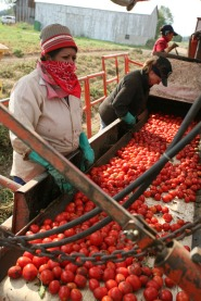 Farmerworkers with tomatoes.