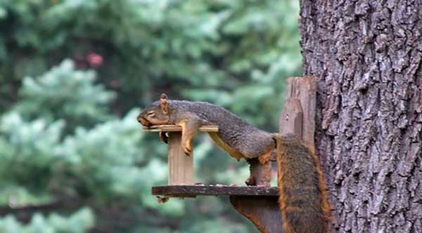 Squirrel asleep