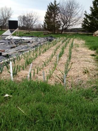 340 garlic plants.