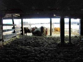 Cows and barns.