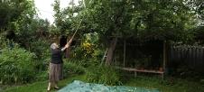 Knocking apples off tree.