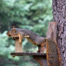 Un écureuil un peu fatigué