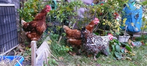 BACKYARD CHICKENS: An Urban Adventure