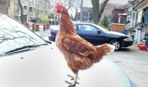 Chicken standing on car.