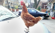 Chicken standing on car.