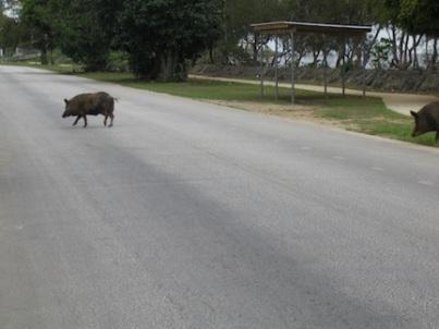 Pigs in street, Tonga.