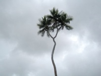 Tree with two heads, Tonga.