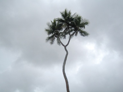 Tree with two heads, Tonga.