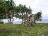 Pandanus, Tonga.