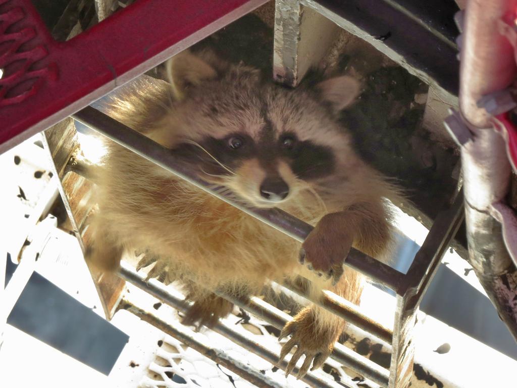 Raccoon Revenge | LIVING TORONTO