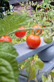 Cherry tomato crop.