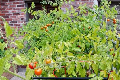 Mature tomato plants.
