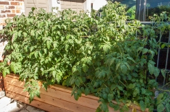 Long planter box with tomato plants.