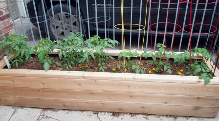 Small tomato plants in planter box.