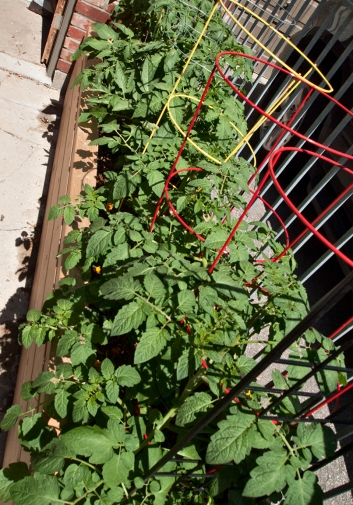 Tomato plants in planter box.
