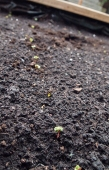 Radish seedlings.