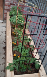 Tomato plants in cages.