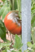 One red tomato growing.