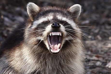 Yawning raccoon.