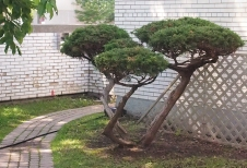 Pruned shrub at Japanese CCC.