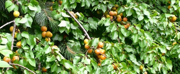 Apricot tree laden with fruit.