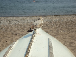 Seagull on boat.
