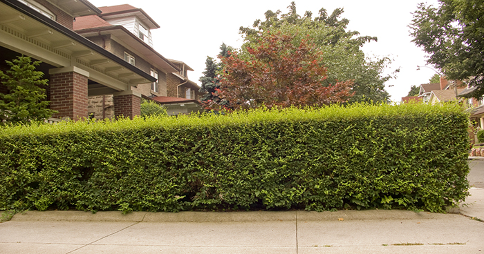 Conventional hedge.