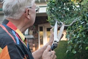 Tree artist evaluating shape.