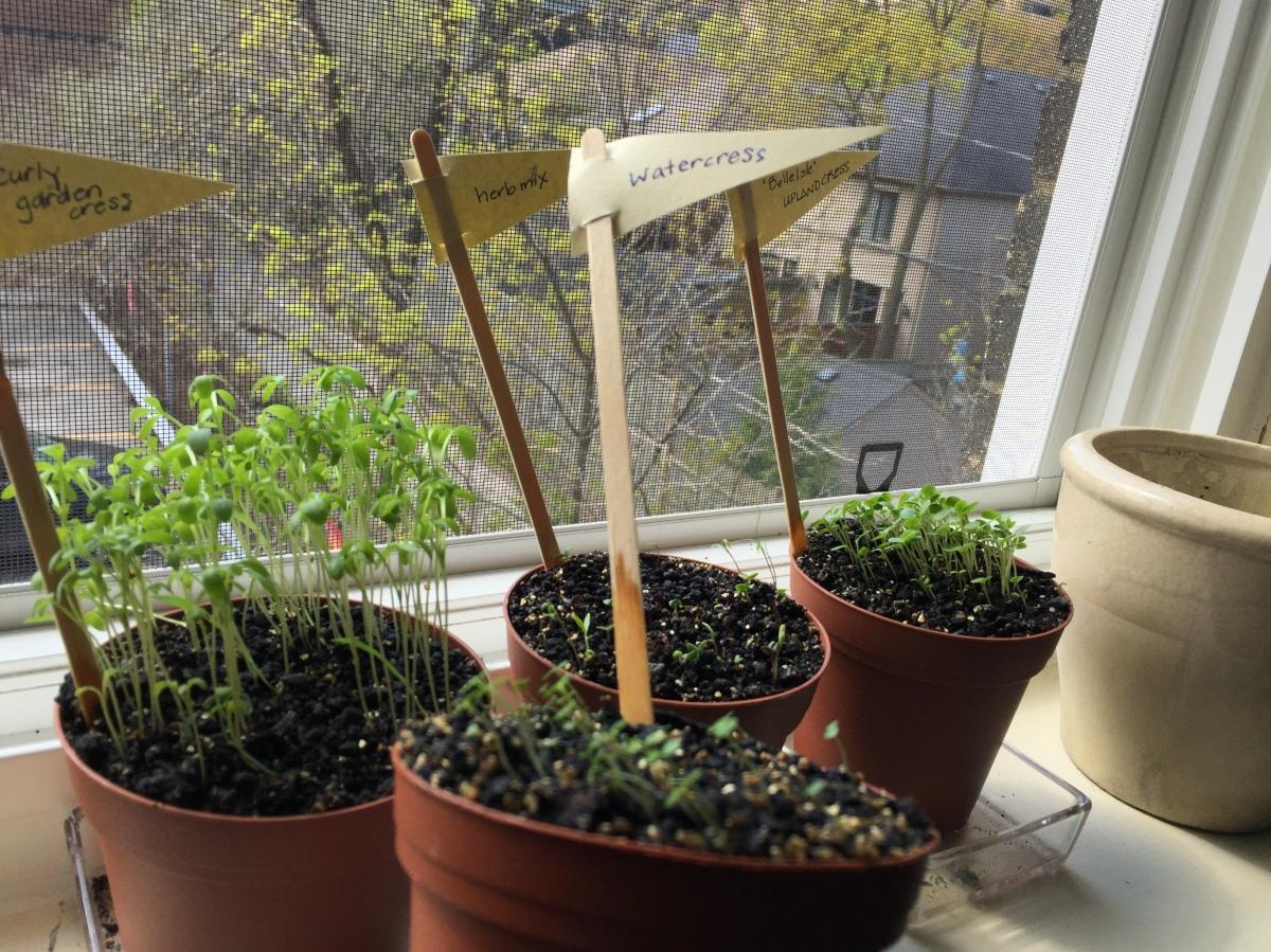 Watercress seedlings.