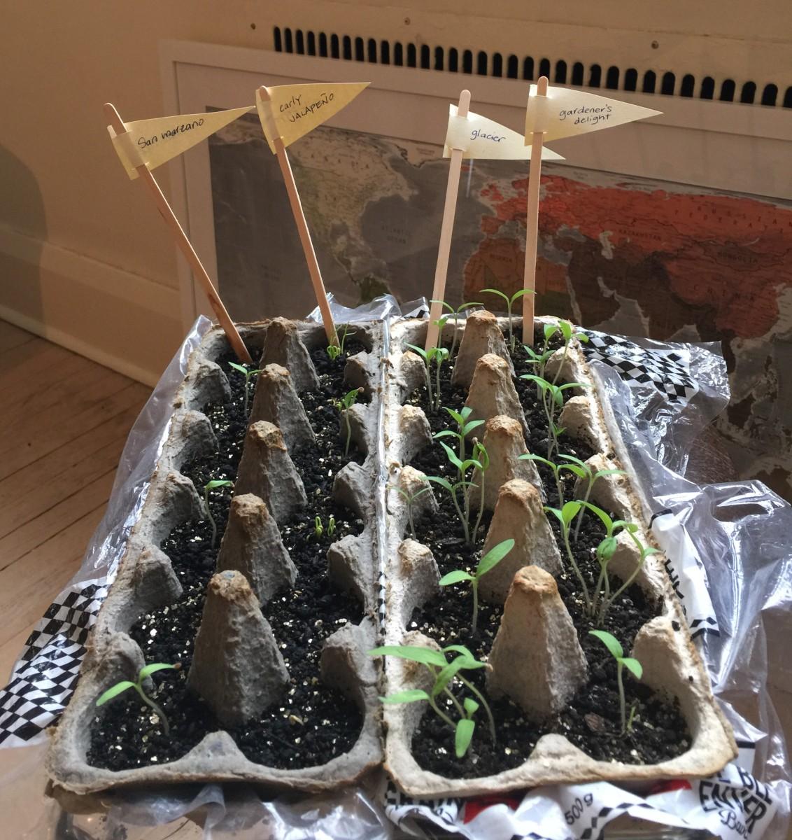 Egg carton seedlings.