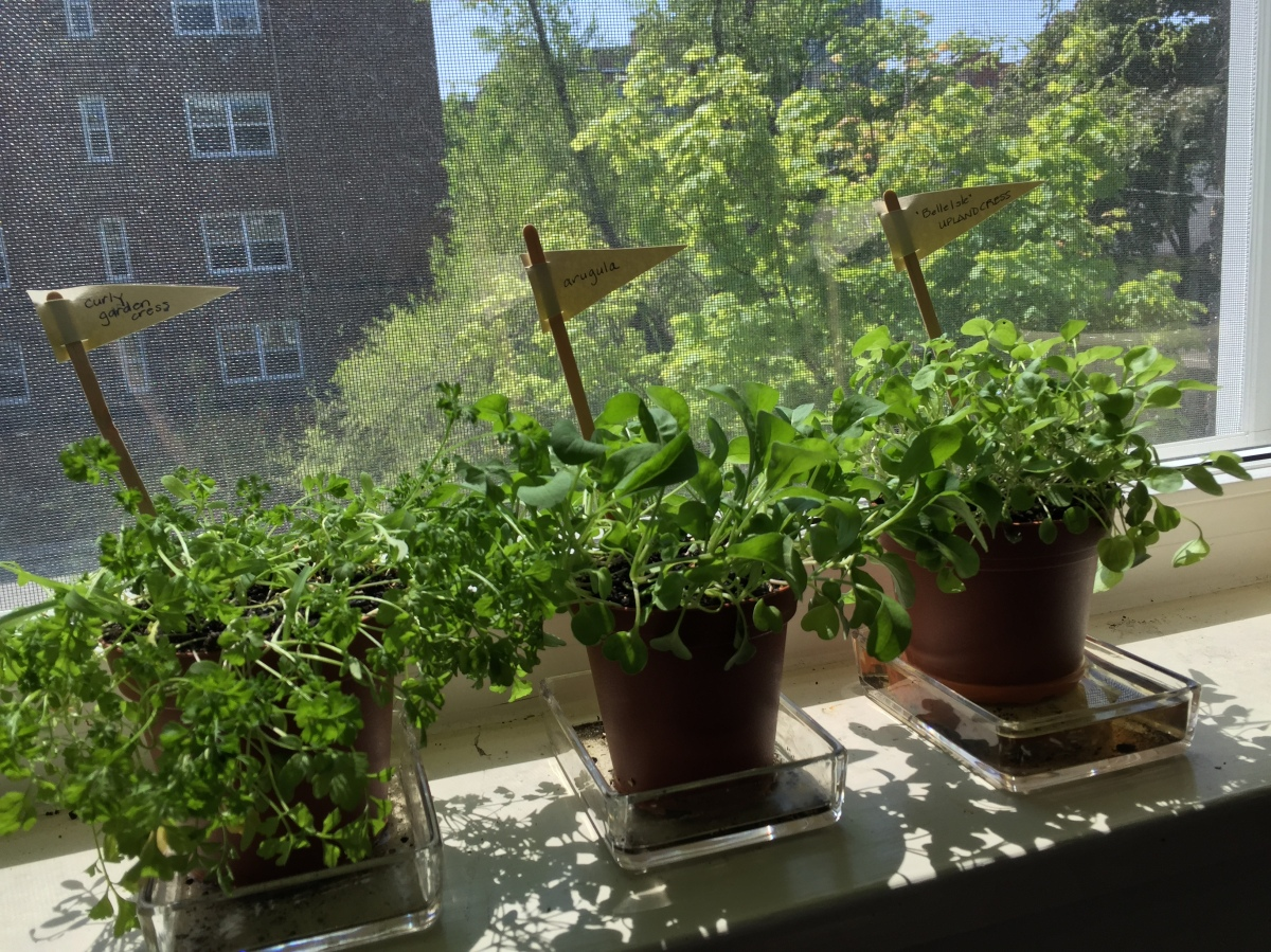 Seeded herbs on windowsill.