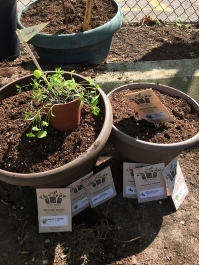 Pots and seeds ready