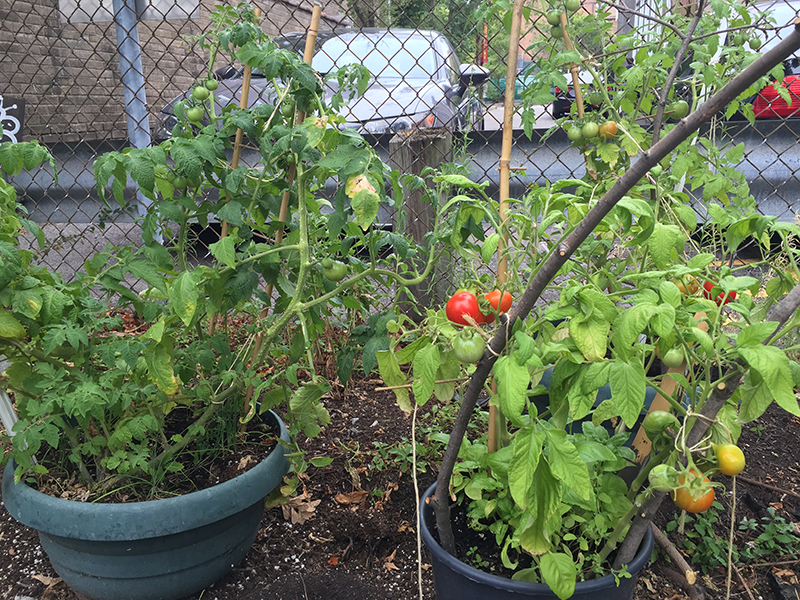 Some tomatoes are ripe.
