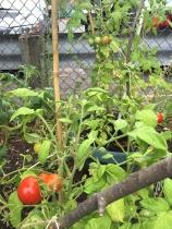 Tomatoes growing in garden.