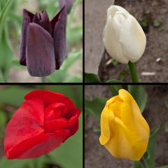 single tulips four directions
