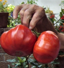 Rico's tomatoes in his hand.