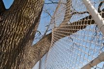Tree limb grown through fence.