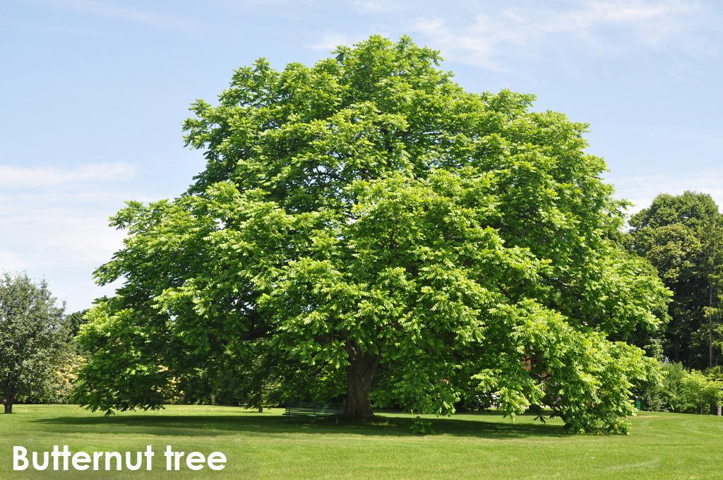 Butternut tree.