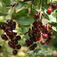 Chokecherry.