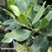 Ironwood.