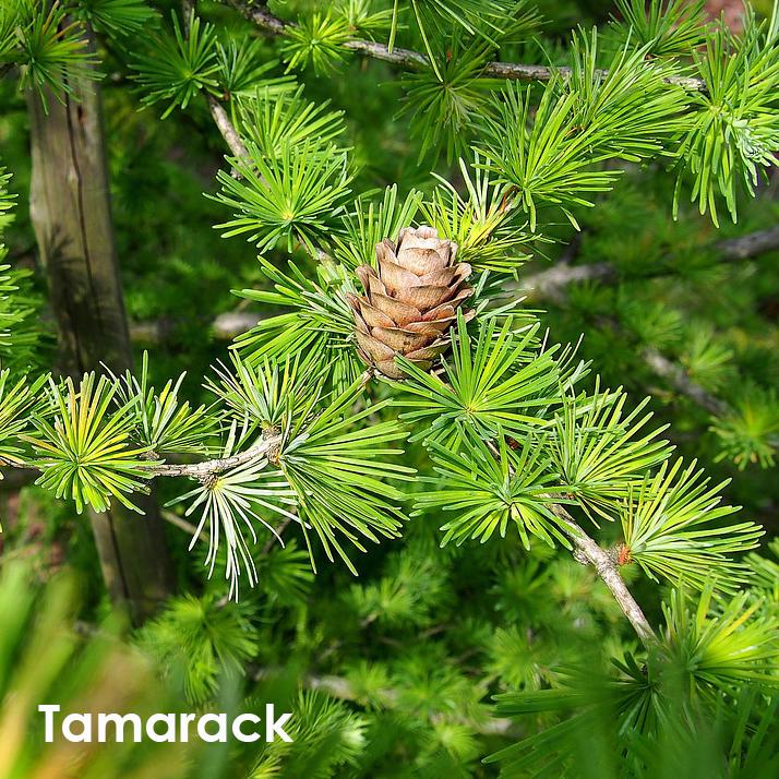 Tamarack.