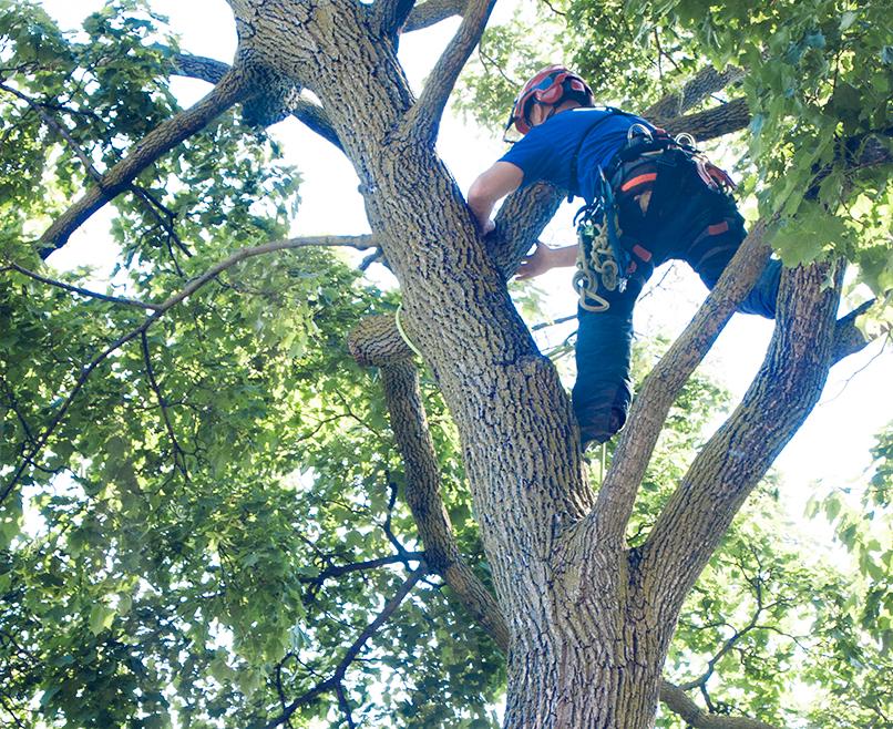 Arbourist straddling tree.
