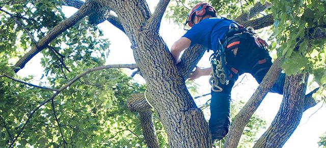 Arborist in tree.