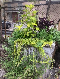 Planter with tall coleus and vines flowing over the edges.